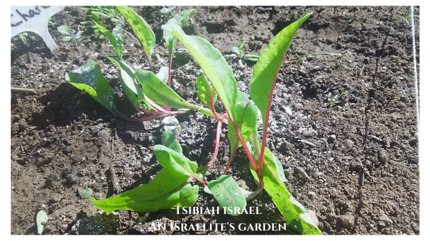 Garden Update - An Israelite's Garden